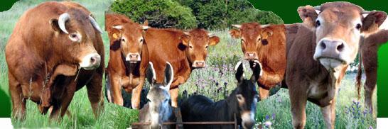 vacas limousín y dos burros